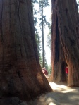 Sequoia National Park - hide 'n seek