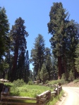Sequoia National Park  -first glimpses