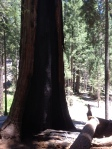 Sequoia National Park burn survivor