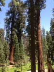 Sequoia National Park - giants
